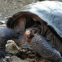 Phát hiện rùa khổng lồ đã tuyệt chủng một thế kỷ trước tại Ecuador