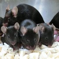Chuột chào đời từ tinh trùng đông lạnh trên trạm ISS