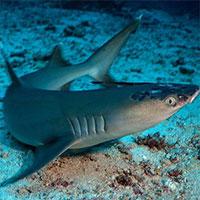 Bệnh da bí ẩn đe dọa cá mập sắp nguy cấp
