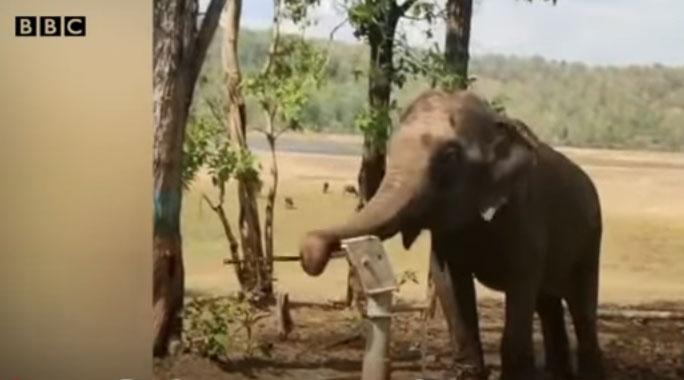 Con voi dùng vòi quấn quanh tay cầm của chiếc bơm tay để bơm nước lên uống.