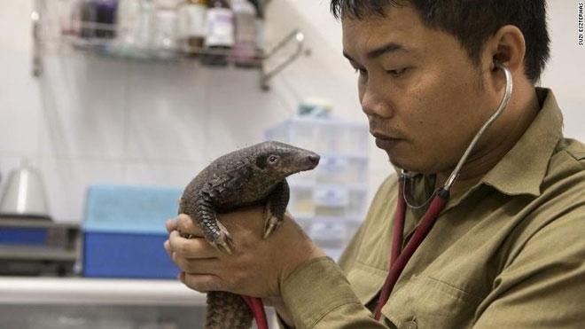 Ông Nguyễn Văn Thái kiểm tra sức khỏe một cá thể tê tê.