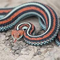 Phát hiện quần thể 1.300 con rắn sọc gần sân bay