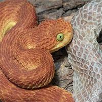 Vì sao da rắn lột ra lại không có màu sắc?