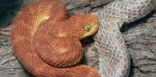 Một con rắn đang lột da.