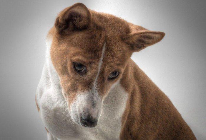 Chó Basenji có tuổi thọ từ 12 - 14 năm.