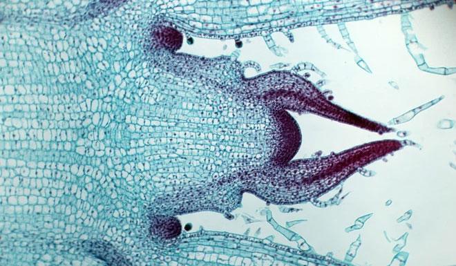 Làm cách nào các tế bào biết được chúng đã đủ lớn?