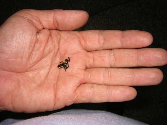 Con nhái độc Eleutherodactylus dài không đến 10mm, nằm gọn trong lòng bàn tay.